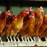 "ALL OF  ""HERR"" DAVID L. HOWARD'S CHICKENS HAVE COME HOME TO ROOST – ""HERR"" HOWARD AND HIS FLOCK BROKE IT AND THEY OWN IT"