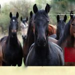 "SLOW APPLAUSE FOR THE USDA  – GRADE ""B"" – TWO DOWN AND THE ALL IMPORTANT SATURDAY NIGHT TO GO –  PLEASE PROTECT THE HORSES"