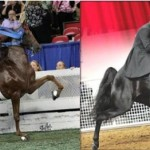 """SHELBYVILLENOW – MR. DAVID THOMAS WEIGHS IN WITH """"FINAL THOUGHTS"""" ON CURRENT OUTLOOK FOR THE TENNESSEE WALKING HORSE BREED"""