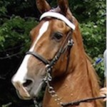 WHEN THE CRUCIAL CALL WAS MADE,  THE 2015 CITIZENS CAMPAIGN AGAINST BIG LICK ANIMAL CRUELTY ANSWERED, AND ABUSED BIG LICK TENNESSEE WALKING SHOW HORSE GEN'S ICE GLIMMER WAS SAVED FROM SLAUGHTER