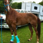 "THE TENNESSEAN ARTICLE:  ""USDA INVESTIGATES RESCUED WALKING HORSE"" SORED AT 2013 MTSU WALKING FOR EDUCATION HORSE SHOW"